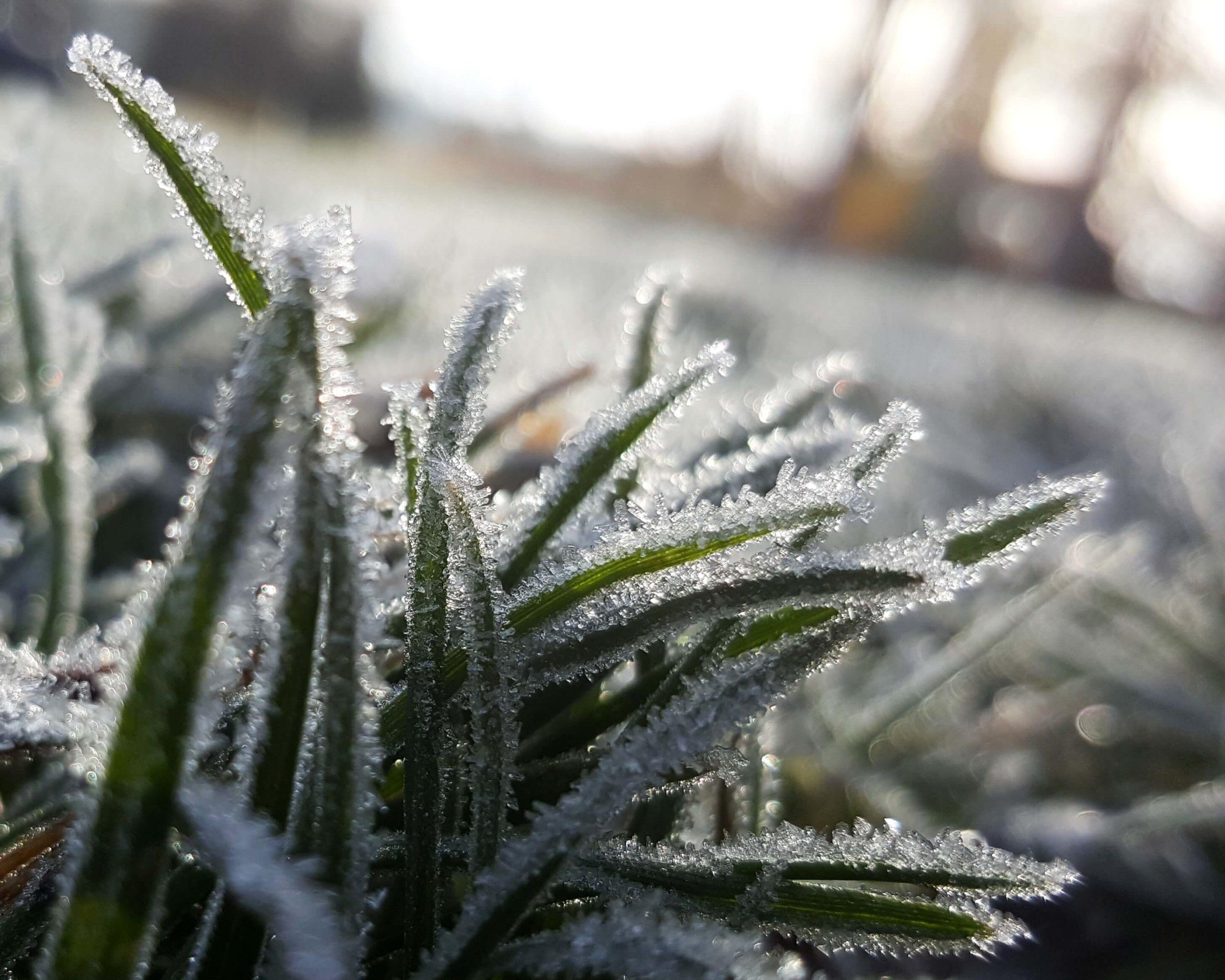 луговая трава в снегу